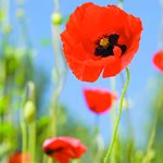 Questions and answers on poppy fund usage