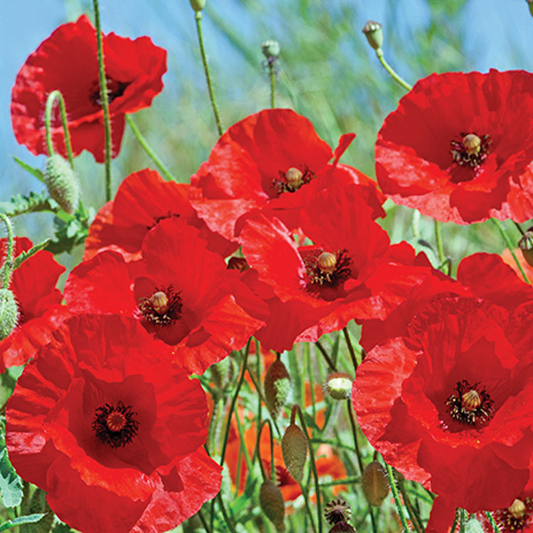 Part 1: Get Creative with Poppy Distribution